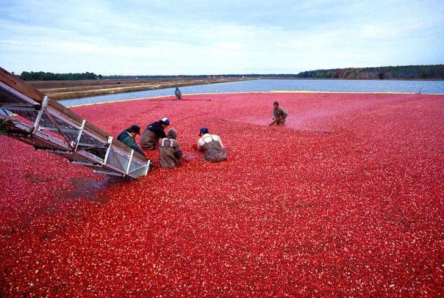 800px-Cranberrys_beim_Ernten
